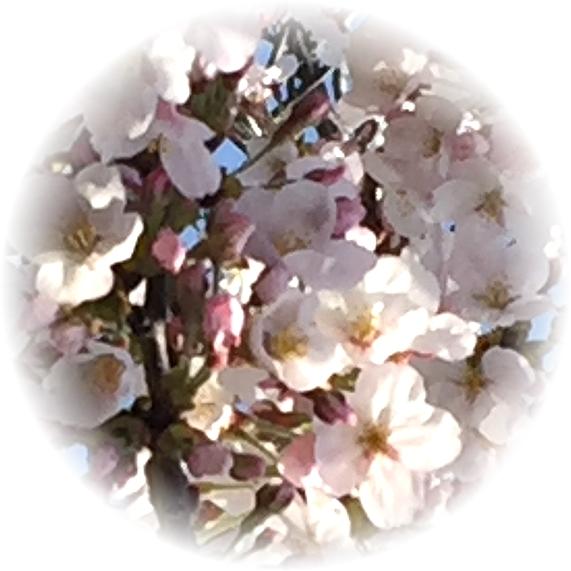 桜2-丸ぼかし-g331
